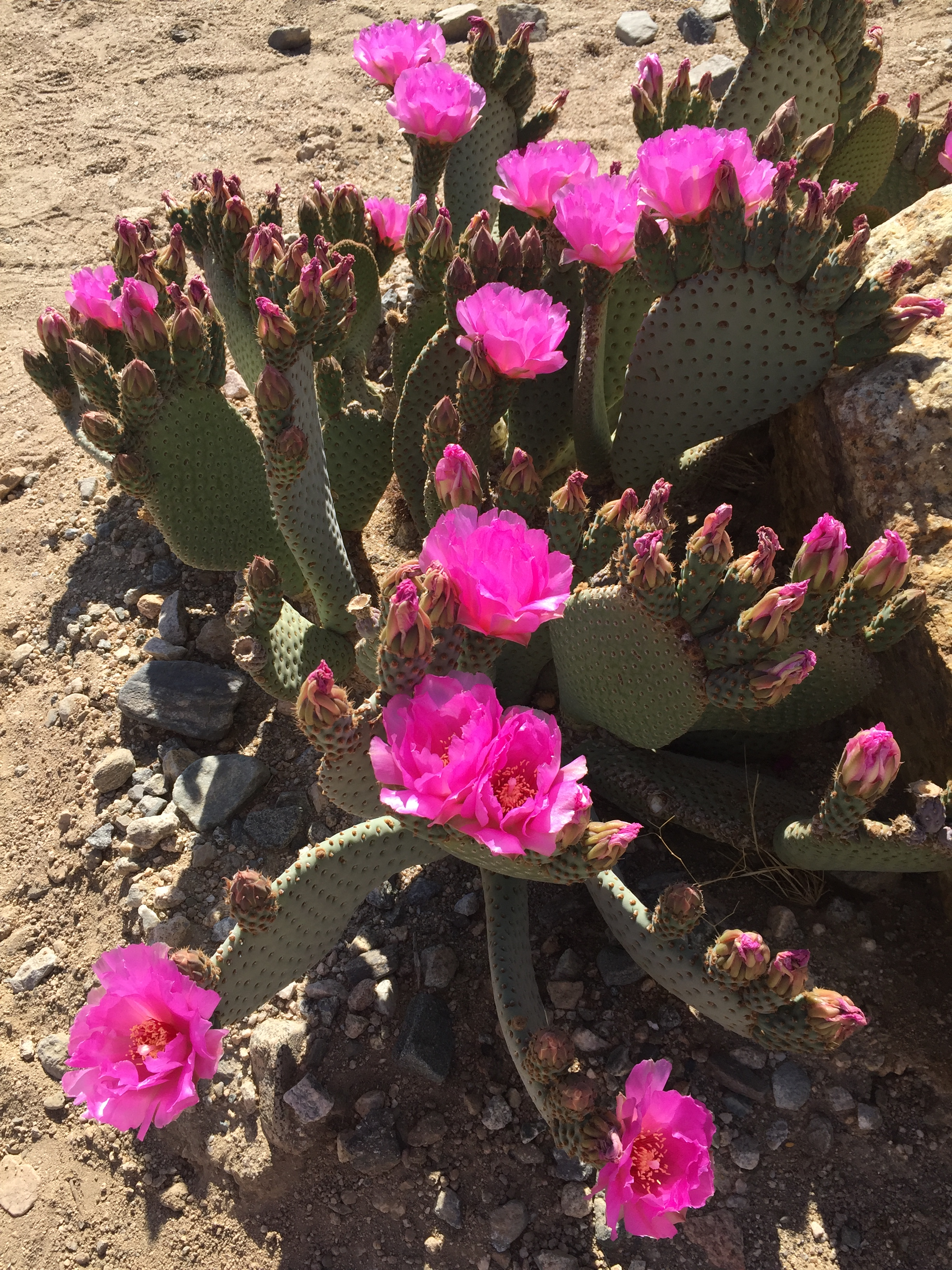 Beaver Tail Cactus blooming 2