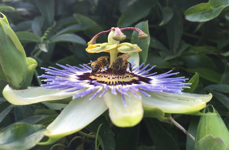 Buda bees on a passion flower