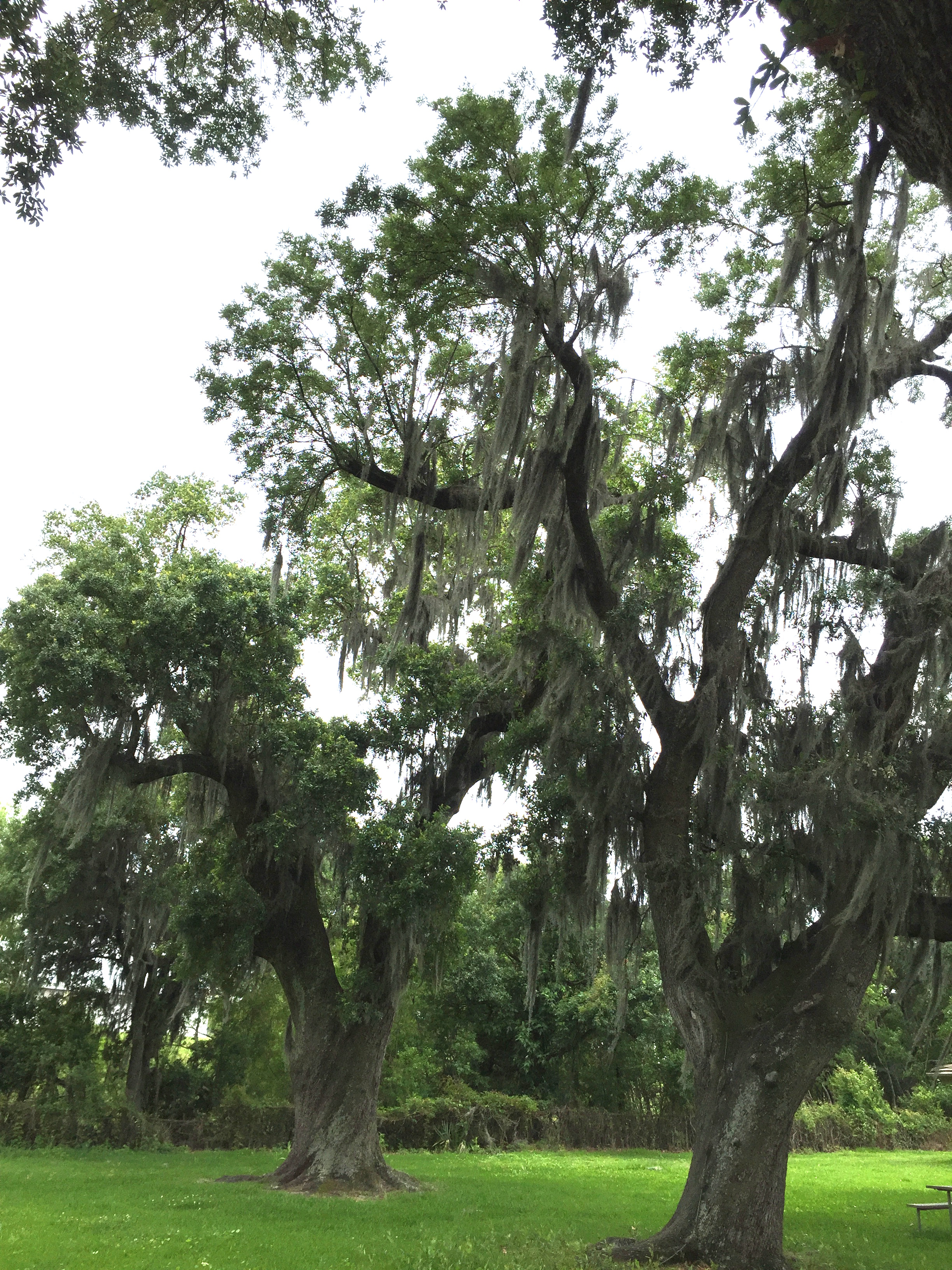 NOLA tree moss